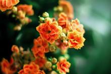 Kalanchoe Indoor Flower Orange...