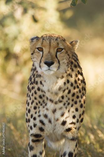 Cheetah portrait, Botswana, Africa