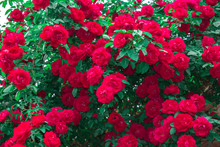 Bush Of Rose Flower Red Summer