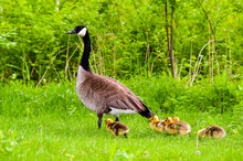 Image Of Canadian Goose And Ch...