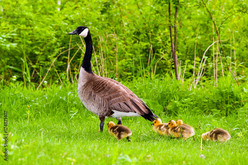 Image of Canadian goose and chicks in grass