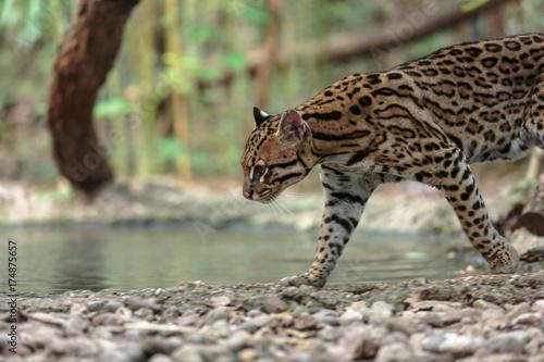 Plakat Leopardus pardalis. ocelot. gattopardo. Leopardus pardalis