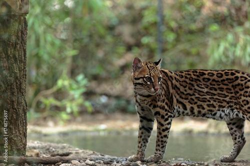 Tuinposter Panter Leopardus pardalis. ocelot. gattopardo. Leopardus pardalis