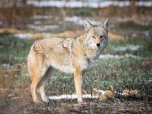 Coyote Stare