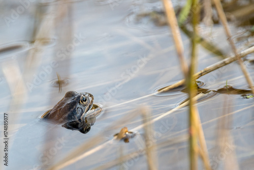 Frog in the water and sun Tablou Canvas