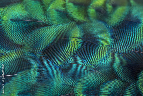 Foto op Aluminium Onder water Abstract background made of peacock feathers