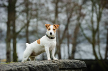 Jack Russell Terrier Standing ...