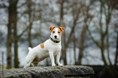 Obraz Jack Russell Terrier standing on rock wall - fototapety do salonu