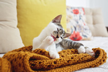 Close Up Of Kitten Laying On Sofa And Licking His Paw