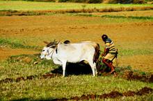 Farmer Plowing The Field In Go...