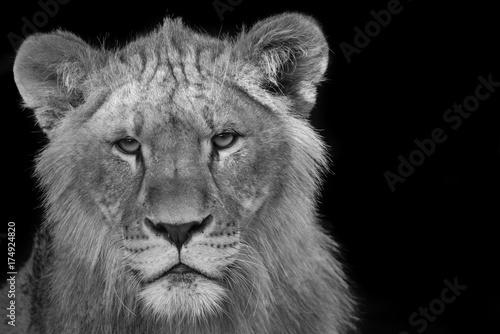 Zdjęcie XXL Młody lew gapić się w dół