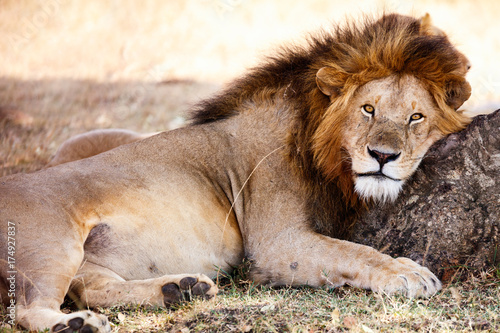 Fototapety, obrazy: Male lion in Africa
