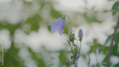 Staande foto Lelietje van dalen Blue lily of the valley. Close up of Lily of the valley. May lily in beautiful colors
