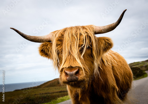 Fototapeta Scottish Highland Cow obraz