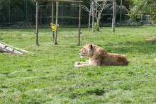 Lionne Dans Lherbe