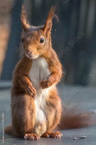 Zdjęcie XXL wiewiórka spoglądająca prosto w obiektyw