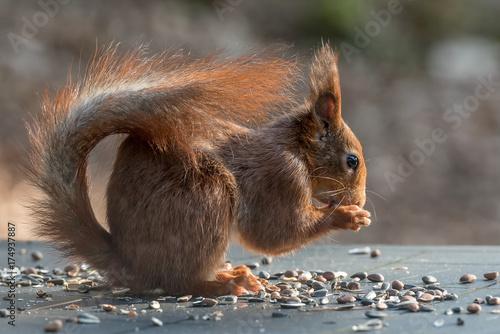 Fototapeta wiewiórka na stole