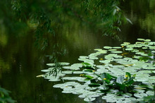 View On The Bank Of Pond With Wild Water Lilies Through The Weeping Willow.