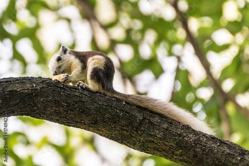 Zdjęcie XXL Śliczny szary wiewiórczy łasowanie w parku