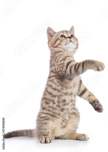 Fotografia, Obraz  Playful cat kitten standing on its hind legs with paw up, isolated on white back