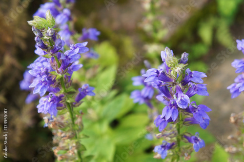 Photo  hyssopus officinalis or hyssop blue flowers with green