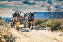 Donkeys Pulling A Cart Filled With Tourists' Luggage Trot Down A Dirt Road In The Cederberg Wilderness Area, South Africa