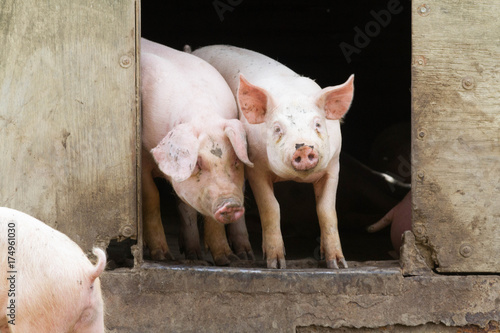 Fotografia  cochon