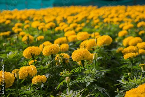 Plakat kwiaty nagietka w ogrodzie.