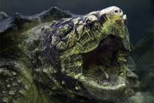 The Alligator Snapping Turtle (Macrochelys Temminckii), Detail Of Terrible And Scary Head And Open Mout