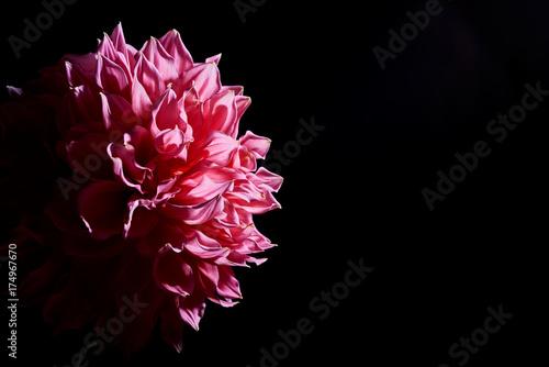 Zdjęcie XXL różowe duże kwiaty dalie na czarnym tle ze światłem kontrastowym