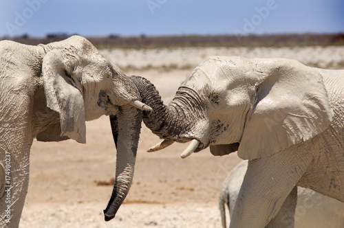 Two elephants with trunks curled around eachother play fighting in Etosha with a Canvas Print