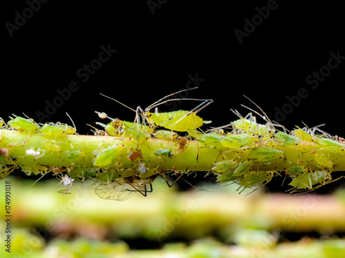 Photo Aphid Colony on Green Twig on Dark Background