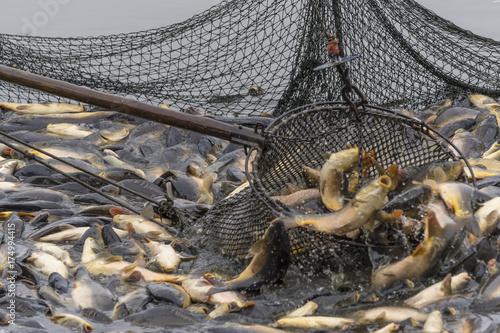 Fotografija  Fischzug, Teichwirtschaft