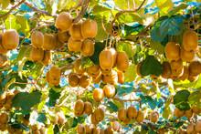 キウイフルーツ畑