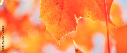 Aluminium Prints Autumn Vibrant color of red oak maple leaves during fall season in Seattle, Washington, USA. Natural backlit light, soft and selective focus with bokeh. Panorama style.