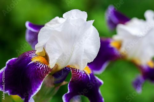 Spoed Foto op Canvas Iris Iris flowers