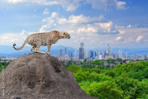 Cuadros en Lienzo  Cheetah with the city of on the background