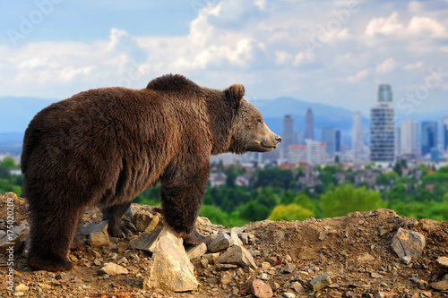 Fotografía  Bear with the city of on the background