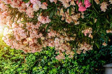 FototapetaBushes blossoming Oleandra pink color