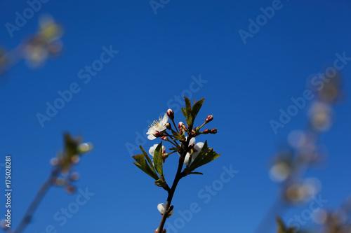 Zdjęcie XXL gałąź jabłoni z kwitnących kwiatów z bliska.