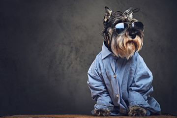 Fototapeta Pies A dogs dressed in a blue shirt and sunglasses.
