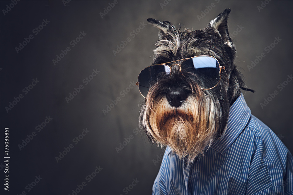 Fototapety, obrazy: A dogs dressed in a blue shirt and sunglasses.