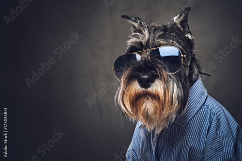 Fotografie, Obraz  A dogs dressed in a blue shirt and sunglasses.