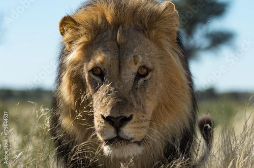 Photo Nossob lion.