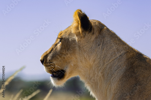 Photo  Lioness looking for companion.