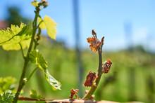 Spring Frost Damage In Vineyar...