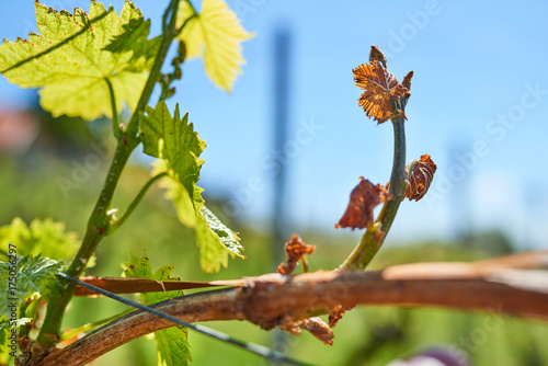 Foto op Plexiglas Lente Spring frost damage in vineyard. Grapes frost damage. Frost Grape by slight frost winter injury.