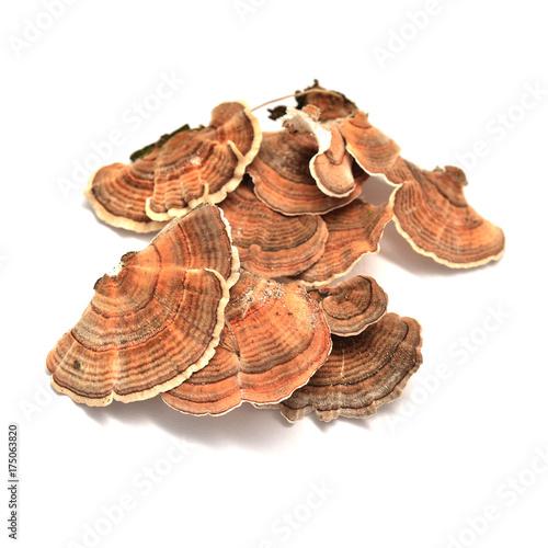 Fototapeta trametes versicolor mushroom