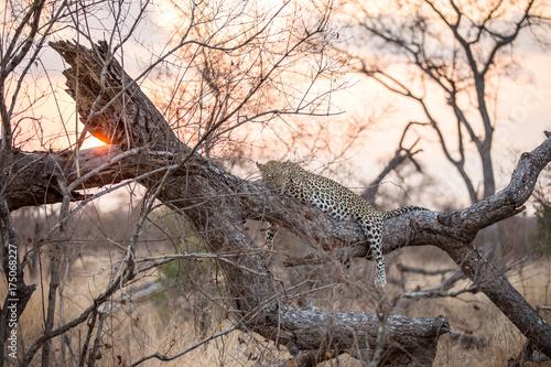 Plakat Lampart w Sundown