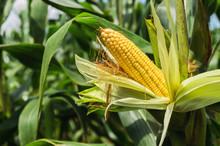 Fresh Corn On Stalk In Field